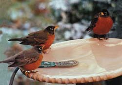 Robins in Bird Bath